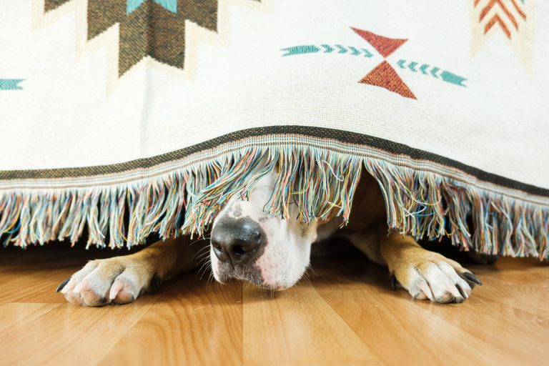 dog hiding under sofa scared of fireworks